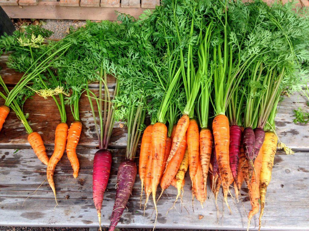 Fakt des Monats: Es gibt weltweit über 100 Karottensorten!
